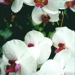 orchids-DSC01571