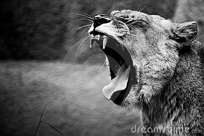 lion-roar-thumb13981045