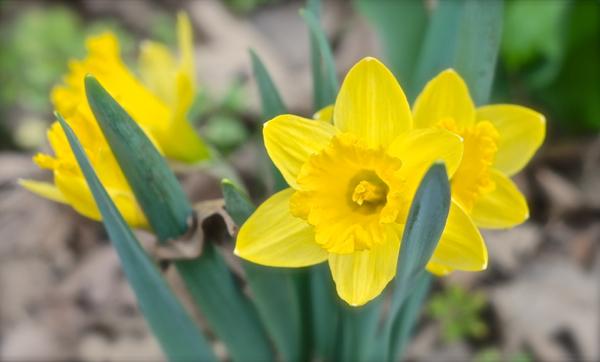 daffodils2013-DSC_0030