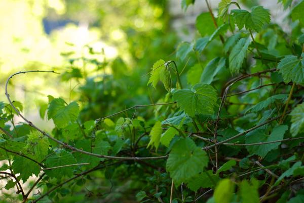 grapevines2013-DSC_0056