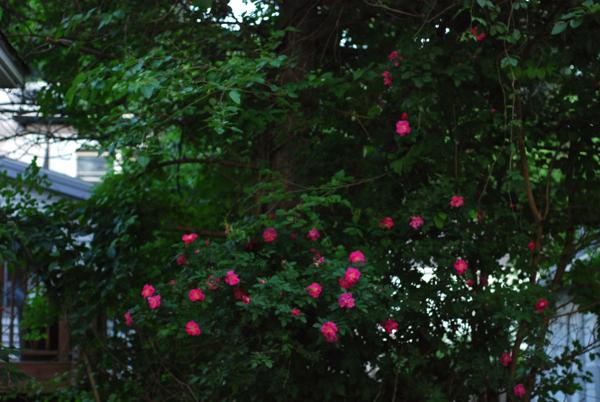rosewall1