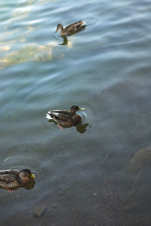 ducksgrandmarais