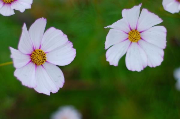 whiteflowersonwalk