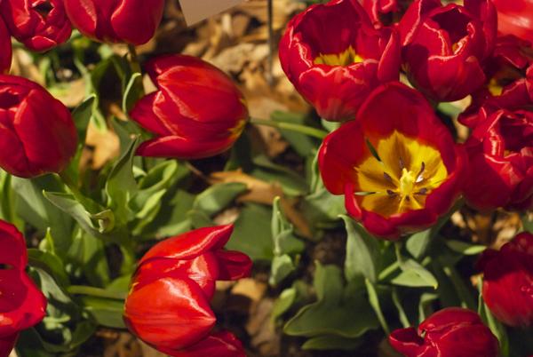 secretgardentulips