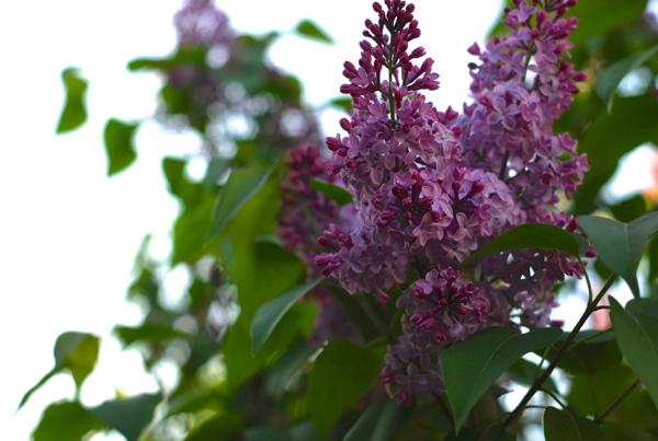 lilacs2014