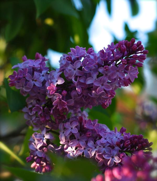 lilacs20142