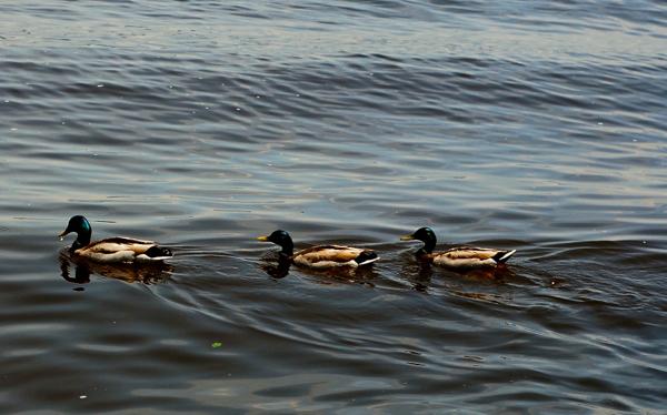 duckslakecity