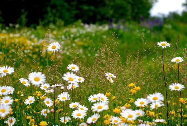 daisies2014