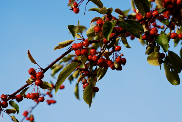 redberries2014