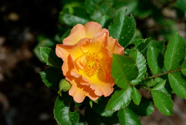 peachrose
