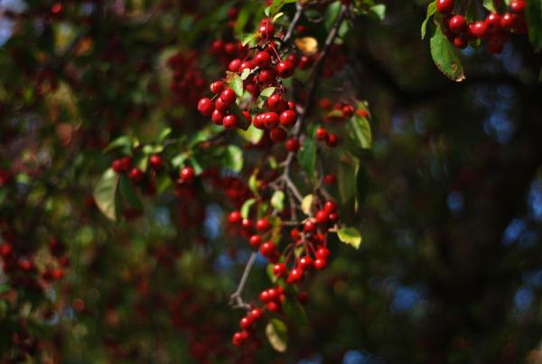 autumnberries