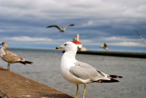 seagull2015
