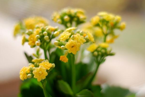annivflowers
