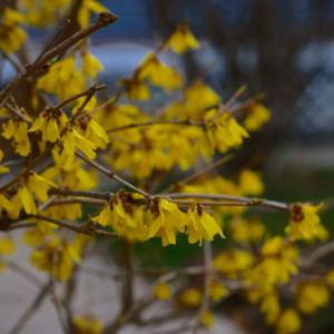 springyellowflowers