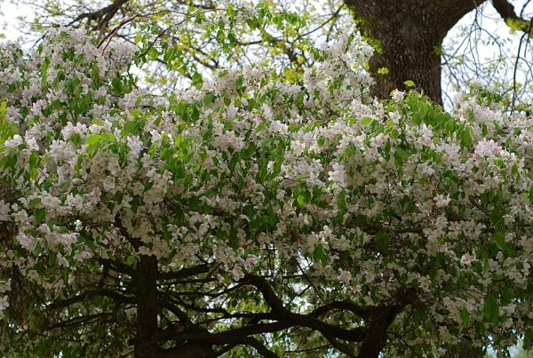 appleblossoms2016