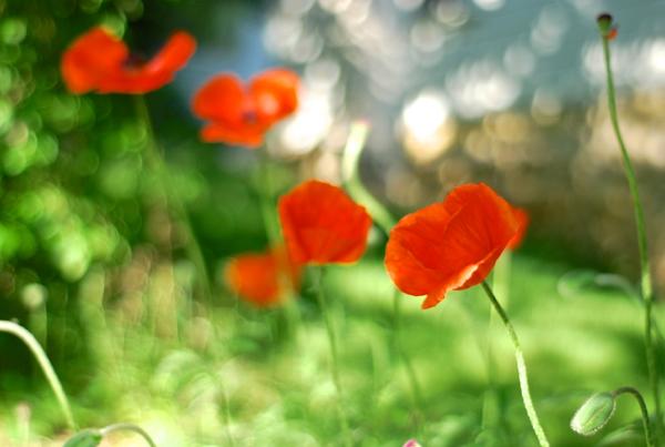 poppies3