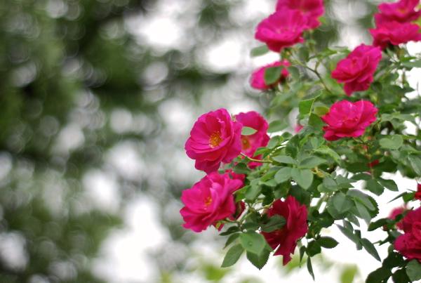 roses20162