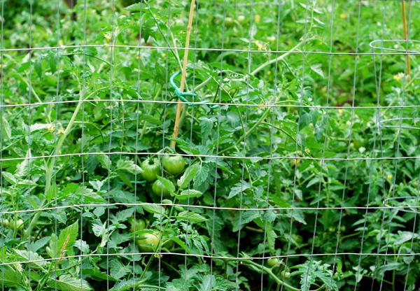 tomatoes2016